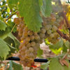Grape Vermentino di Sardegna