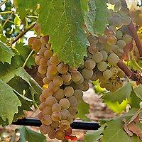 Uva Vermentino di Sardegna