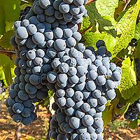 Cagnulari Usini grapes