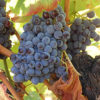 Grape Cannonau di Sardegna